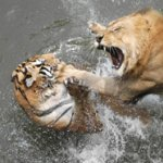 lion attacks tiger
